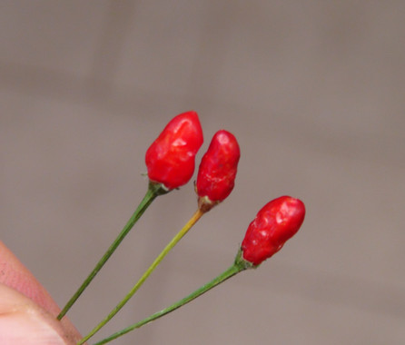 Here is the Cumari Pollux Pepper, Capsicum Praetermissum, Scoville units: 1,000 to 50,000+ SHU. This Pepper originates from the Brazilian Rainforests from the Cumari region of Brazil. It is a bird sized tepin shaped pepper that looks similar to a pequin but is not. Pods get to around .25 inches long with fruits having a red colored skin when fully ripe but fruits can take months to ripen from green to red. These pods have a unusual flavor that is very distinctive to the C. Praetermissum species. Plants can get to 3 feet tall and produce dozens or hundreds of pods! Please note that the heat varies from pepper to pepper as some fruits are low heat but others may be very hot. We found these to be great for roasting and fresh eating too! Makes a great house plant as they do well in pots and winter over very well. Open pollinated mid to late season 65 to 100+ days.