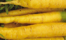 Amarillo Yellow Carrot