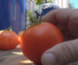 Box Car Willie Tomato