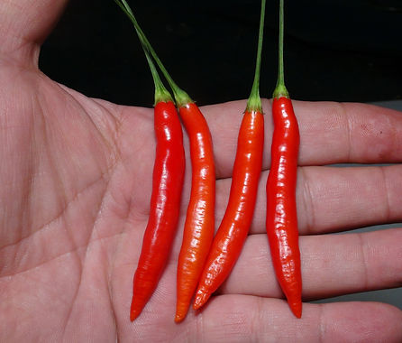"Here is the Aji Peri-peri Pepper, Capsicum baccatum, Scoville units: 1,000 to 7,000 SHU. This rare and unusual baccatum pepper originates from Africa. The strange pepper is a baccatum version of the Piri-piri which means ""pepper"" in Malawi and many other countries throughout Africa. It also goes by piri-piri or pili pili. Peri-Peri is a common name used to describe many peppers in africa similar to the ""Tepin"" in western countries. The pods get to around 2.5 inches long and has rich baccatum pepper flavor! Fruits start out white in color and turn to a red color when fully ripe. Plants can get to 5+ feet tall and tend to be a tall sized plant but if pruned they tend to stay small like 3 feet tall and bushy. Pods have an amazing flavor with a very nice snappiness and medium heat an sweetness that is very satisfying but some peppers may be very hot! These make a great drying and pickling pepper and holds up well in a skillet and also great for and fresh eating too! NOTE: Please don't conf"
