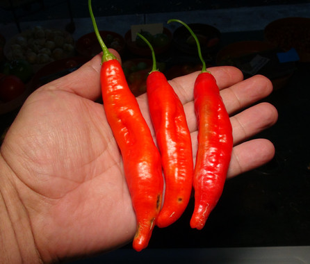 Here is the Aji Imbabura Pepper, PI 595905, Capsicum baccatum var. pendulum, Scoville units: 3000 to 10,000 SHU. This pepper originates from the province of Imbabura in the country of Ecuador and was first collected on August 25 1996. Read more HERE. It is a pendulum pepper with pods getting 2.5 inches long and smooth skinned. Pods start out light green in color then turn to orange and red in color when fully ripe. Plants can get to 3+ feet tall and tend to be a large plants but if pruned they tend to stay small like 3 feet tall. Pods have an nice baccatum or berry like flavor with a very nice smooth crunchiness that is very satisfying but some peppers may be very hot! These make a great roasting pepper especially when frying and hold up well on the grill and also great for pickling and drying too! Open pollinated 80 to 90 days.