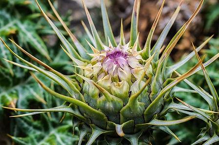 Gobbo Di Nazzia Cardoon flower