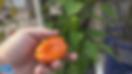 Lunchbox Orange Sweet Snacking Pepper