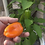 Here is the Lunchbox Orange Sweet Pepper, Capsicum annuum, Scoville units: 000 Sweet. This is a nice little sweet pepper with