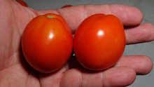 Here is the Kibic Tomato aka Kibits, Solanum lycopersicum. This tomato originates from the country of Poland. It is considered a commercial tomato through out Eastern Europe and known as an early producer. The fruits are a Roma plum type with an orange skin and orange flesh inside that gets to about 2.5 inch long and weighting around 2.5 to 3 oz. The thing about this variety is the early crop production and the massive amount of fruits it produces. Plants can get to 4 feet tall in really good soil but plants tend to get to 3 feet tall. Great for salads, slicing and for tomato sauce! Open pollinated determinate regular leaf mid season 70-85 days.