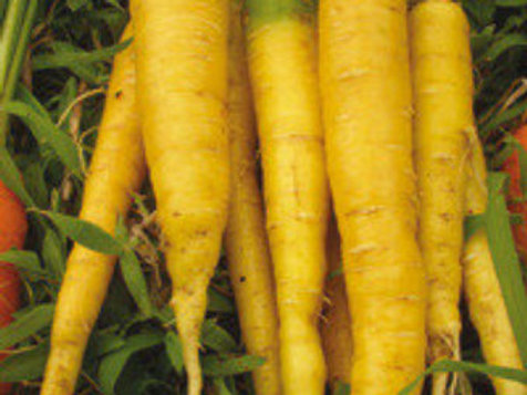 Here is the Amarillo Yellow Carrot, Daucus carota subsp. sativus. These carrots can range quite a bit in size and color. They