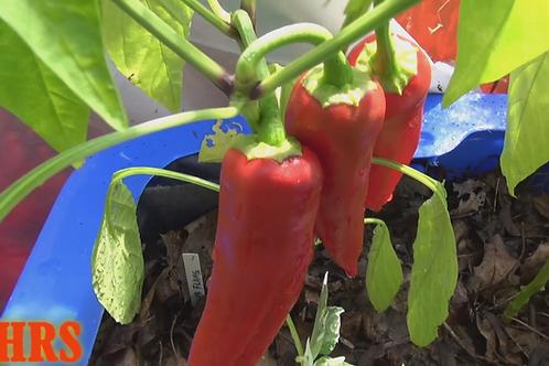 Here is the Georgia Flame Pepper, Capsicum annuum, Scoville units: 1,000 ~ 1,500 SHU. This pepper originatedfrom the Republi