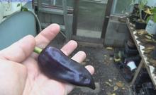 Purple Marconi Pepper