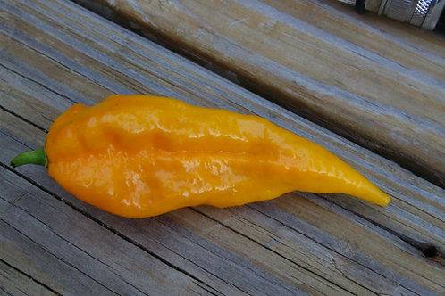 Here is the Fatalii yellow pepper, Capsicum chinense, Scoville units: 125,000 ~ 400,000 SHU This is a very spicy pepper. One