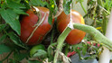 Here is the Paul Robeson Tomato, Solanum lycopersicum. The originates from Moscow, Russia and was introduced to the USA by Marina Danilenko who was a private seed seller in Moscow in the late 80's and 90's. This beefsteak tomato has a deep mahogany skin with a dark green shoulders and a dark red-purple flesh inside getting to about 3.5 to 4 inches across and weighting up to 1.5 lbs. The thing about this variety is the deep red or purple color they have! Plants can get to 6 feet tall in really good soil but plants tend to get to 5 feet tall. The fully ripened fruits will have a deep rich color to them. Great tasting tomatoes for salads, eating fresh and for tomato sauce and paste! Open pollinated indeterminate regular leaf mid season 72-87 days.