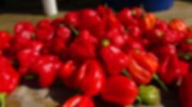 Habanero Red Pepper