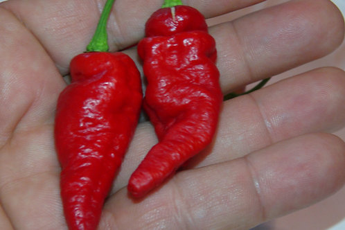 Here is the Blue Ghost Pepper, Capsicum chinense, Scoville units: around 1,000,000 SHU. This pepper variety originated from I