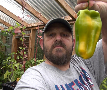 Here is the Yellow Monster Pepper, Capsicum annuum, Scoville units: 000 SHU. This super large bell pepper has to be the largest of all bell peppers! It is a long season pepper variety so you have to start indoors first. Peppers can get to 10 inches long mottled with green over a yellow bell pepper. This plant can produce very heavy fruits that can snap the plant so be sure to put extra support it well. goes great in any dish. Plants get to around 30 inches tall and can make as many as a dozen pepper fruits. it is best to grow this one in full sun by it's self. can be wintered over but wont bare much fruit during the winter months indoors. Open pollinated 90 days.