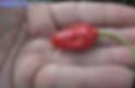 Aji Largo Racoto Pepper