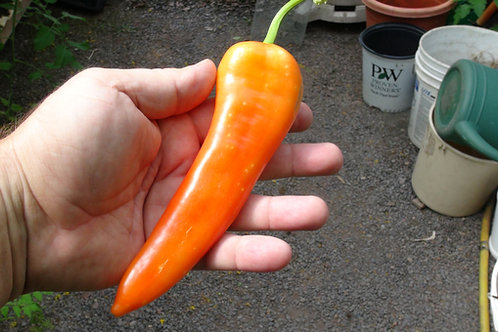 Here is the Sweet Banana Pepper, Capsicum annuum, Scoville units: 000 SHU. This pepper is often seen in grocery stores but is