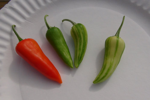 Here is the Fish Pepper, Capsicum annuum, Scoville units: 10,000 SHU. Originating in the Caribbean, all the fish pepper seeds
