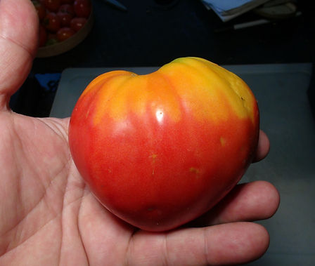 Here is the Abruzzese Giant Tomato aka Pera d'Abruzzo, Solanum lycopersicum. This tomato originates from Italy. This Piriform tomato has a red-orange skin and a dark orange flesh inside getting to about 3.5 to 4 inches across and weighting up to 2 lbs. The thing about this variety is the strange pear shapes they can get and large too! Plants can get to 5 feet tall in really good soil but plants tend to get to 4 feet tall. The fully ripened fruits will have a deep rich color to them. Great tasting tomatoes for salads, eating fresh and for tomato sauce and paste! Open pollinated indeterminate regular leaf mid season 78 to 84 days.