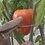 Here is the Orange Russian 117 tomato aka Dawson's Russian Oxheart Tomato, Solanum lycopersicum. This indeterminate, regular