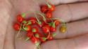 Here is the Japanese Wild Pepper, Tubocapsicum Anomalum PI 501532,Scoville units: 000SHU. This wild variety is no longer classified as a part of the Capsium genus (Capsicum anomalum) and now having recently been reclassified as part of the species Tubocapsicum anomalum (anomalum means 'unusual'). It is a herb with small yellow flowers and red berries. The berries are about 1/4 round. The species originates from Japan but is also found in southern China, Taiwan, and the Philippines. This is not a beginners pepper. Plants can get to 4 feet tall. Seed starts are sporadic an difficult to start. Seeds can take as long as 2 months to sprout! Open pollinated 100+ days.