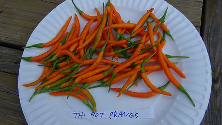 Here is the Thai Hot Orange Pepper, Capsicum annuum, Scoville units: 100,000+ SHU. It is an Orange skinned variety of the flaming hot Thai pepper originating from Thiland. This variety is widely used in Thai and far east in their cooking and is six times hotter than jalapeno peppers. A single plant can produce up to 200 peppers. Easily container grown, or as an annual. Beautiful fruits are bright orange and when in full fruit the plant makes for an amazing ornamental! Open pollinated. 85 days.