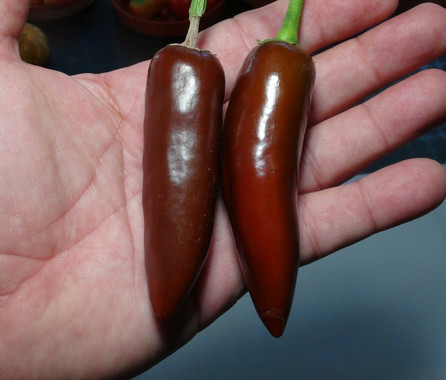 Here is the Brown Jalapeño Pepper, Capsicum annuum, Scoville units: 200 to 2,000 SHU. This version of Jalapeno pepper originates from Brazil and sold in the street markets. This annuum pepper with pods getting 6 inches long and smooth skinned and one amazing jalapeno pepper! Pods start out green in color then turn to a deep brown color when fully ripe. Plants can get to 3+ feet tall and tend to be a medium sized plants but if pruned they tend to stay small like 2 feet tall and bushy. Pods have an amazing smooth flavor with a very nice crispy crunchy low heat sweetness that is very satisfying but some peppers may be very hot! These make a great grilling pepper especially for frying and hold up well on the grill and also great for pickling, drying and fresh eating too! Open pollinated 75 to 87 days.