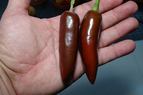 Here is the Brown Jalapeño Pepper, Capsicum annuum, Scoville units: 200 to 2,000 SHU. This version of Jalapeno pepper origina