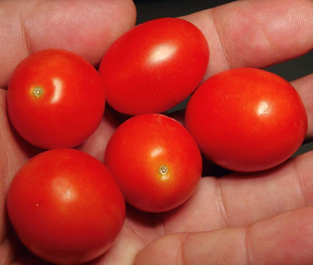 Here is the Клюква в сахарном томате also known as Cranberries In Sugar Tomato, Solanum lycopersicum. This tomato originates from Russia. The fruits are a small egg shaped fruit with that have a deep pink skin and pink flesh inside getting to about 1.5 inch long and weighting around 1 oz. The thing about this variety is the large amount of fruits it makes and the extra sweetness to them! Plants can get to 5.5 feet tall in really good soil but plants tend to get to 4 feet tall. Great tasting tomatoes for salads, eating fresh and for tomato sauce and paste! Open pollinated determinate regular leaf mid season 65-88 days.