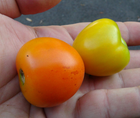 Here is the Jaune Flammée Tomato, Solanum lycopersicum. This tomato originates from Helliner, France and was created by Norbert Perreira. It was introduced to the USA commercially in 1997. The fruits are a small round tomato that has a neon orange skin and orange flesh inside getting to about 2 inches round and weighting around 3 oz. The thing about this variety is the neon orange color resembling the color of orange juice! Plants can get to 5.5 feet tall in really good soil but plants tend to get to 4.25 feet tall. Great tasting tomatoes for salads, eating fresh and for tomato sauce and paste! Open pollinated indeterminate regular leaf mid season 62-76 days.