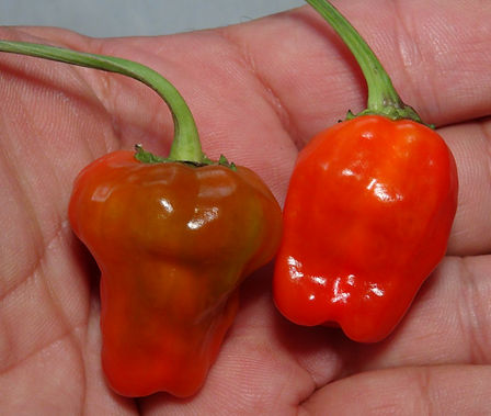 Here is the Black Scorpions Tongue Pepper, Capsicum annuum,  Scoville Units: 30,000 to 80,000 SHU. This Pepper we believe originates from the USA. Pods get to around 1.5 inches long and shape can vary quite a bit. They go from a light green mixed with a peach color and purple shadowing on the skin when grown in full sun. Plants can get to 4.5 feet tall and put out dozens of fruits! When conditions are right they can get stripping and patching of random colors making them very beautiful. They are great when dried! Open pollinated over 80 days.