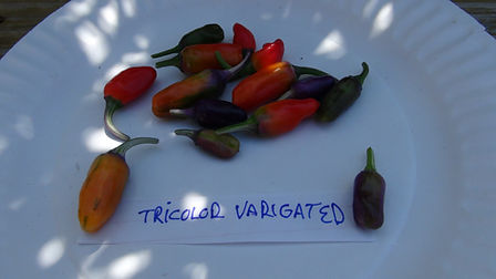 Here is the Tricolor Variegata Pepper Capsicum annuum, Scoville units: 50,000 shu. It is One of the prettiest ornamental peppers you will ever seeand it is edible too! Foliage is variegated in beautiful white, purple and green, making for a gorgeous sight at any time of the season. Bears small purple then red ripening fruits that are quite hot, about 50,000 Scoville. Beautiful both in fruit, flower and just for the foliage. Great for small containers and as a houseplant. Open pollinated 80 days.