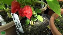 devils tongue pepper