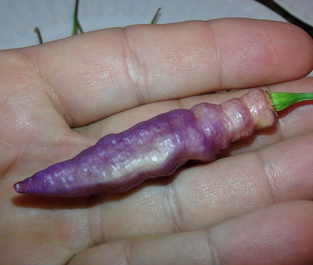 Here is the Pink Tiger Pepper, Capsicum chinense, Scoville units: 200,000 ~ 350,000 SHU. This pepper variety is known for it's fantastic patchy, stripping effect it gets under the right conditions. It is said itoriginated from Italy (Mojo peppers) but from our research it may not have, their is no evidence as to where and who created it. It is a bushy plant that can get to 4' tall and produce dozens of pods! The pepper plant in this video is about 2 years old already. It is a cross between the Pimenta de Neyde x bhut jolokia. Most of the time it makes pale white pods covered with purple patches and get to 3 inches long. You can Grow it as an ornamental, or in the vegetable garden, or both! Open pollinated, 85 days.