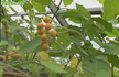 Here is the Dwarf Tamarillo, Tree Tomato, Solanum abutiloides. The fruits are edible, though Solanum abutiloides is rare in cultivation and plants have not been bred for quality of flavor butthey taste great!Solanum abutiloides is most often cultivated as an ornamental plant, as the clusters of ripe fruit are very decorative. Plants or trees can get to 8 feet tall and produce fruits late in the fall unless wintered over then fruits early in summer with massive amounts of fruits or berries. Fruits get to 3/4 to 1 inches in size borne on huge clusters with as many as 40 on each bract! they go from green to an orange color and are very very sweet making it good for jellies and jams. We love to eat them fresh off the plant.Parts of plant are poisonous if ingested! Handling the plant may cause skin irritation or allergic reaction. Pollen may cause allergic reaction. Open pollinated 21 days for sprouts and up to 2 years for fruits. bring in for winter.