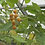 Here is the Dwarf Tamarillo, Tree Tomato, Solanum abutiloides. The fruits are edible, though Solanum abutiloides is rare in c