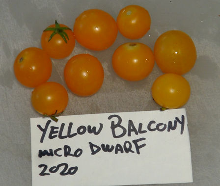 "Here is the Yellow Balcony Tomato, Solanum lycopersicum. This micro dwarf variety of tomato originates from ukraine. They can grow to 12 inches tall and very bush like. The plants are very sturdy and are self supporting. The tomatoes get to about 1 inch round and turn to a glowing yellow color. This variety is classified as a ""determinate"" type but we found that with regular pruning and good maintenance, the plants can live for years in small pots! The fruits are very tasty and sweet! Open pollinated, determinate 40 to forever days."