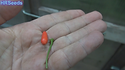 Here is the Pequin Chile Pepper, Capsicum annuum var. glabriusculum, Scoville units: 58,000 SHU. These plants can get to 6 feet tall and 3 feet wide. Small fruits are borne abundantly on semi-annual plants that in warmer climates, can survive for several years.Tiny Chile'susually only 1 inchlong andextremely hot is one of the hottest chilies available. The Pequin (meaning little) is a common Chile used for ultra-spicy dishes. Closely related to the wild Tepin Chile. This pepper variety is extremely productive. Open pollinated, 95 days.