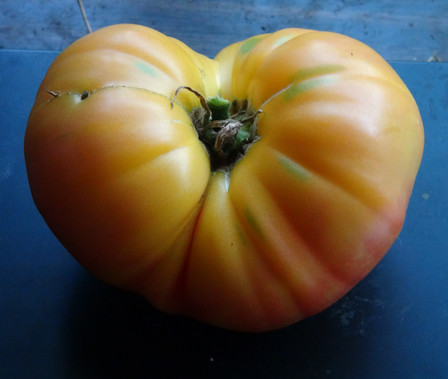 Here is the Big Rainbow Tomato, Solanum lycopersicum, It is a beautiful beefsteak type tomato with yellow-orange color an heavy ribbing. These tomatoes can get to about 2 to 3.5 pounds. They are crack-resistant with smooth skinned fruits and a nice balance of sweet and tangy flavor witch makes a great tomato sauce. A good northern climate tomato verity. Resistance to Fusarium wilt and verticillium wilt. Indeterminate. Open pollinated 80 days.