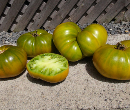 Here is the Humph Tomato Solanum lycopersicum, A rare heirloom tomato, probably dating back several decades. Produces medium to large, beefsteak like fruits that ripen to lime green, with subtle amber striping. The fruits also have green flesh and a zesty, fruity flavor. Plants can be very products in full sun light. Indeterminate. Open pollinated. 80 days.