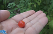 """Here is the Spoon Tomato, Solanum pimpinellifolium, new for 2019. Some say it is the worlds smallest tomato! This Indeterminate, regular leaf tomato plant produces current sized, red, tomatoes and is a heavy producing variety that originates from central and south America. We found this variety to self seed every year from seed. We do not recommend growing this tomato in your garden with other vegetables due to the enormous size they can get. Very hardy and resistant to most blights. The fruits do vary in size an shape and can reach 3/8"""" and 8 to a bract. Great for snacking or making sauces and salads, open pollinated 45 days."""