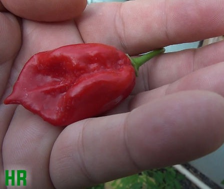 Here is the Devil's Tongue Pepper, Capsicum chinense, Scoville units: 500,000+ SHU, A fairly rare variety with an unclear origin. Originally the Devil's Tongue was a yellow variety then a red variety came and is a more common variety these days. Said to be Developed by an Amish farmer in Pennsylvaniabut rather it was first known to be discovered on an Amish farm in Pennsylvania in the early 1990s. With an SHU of around 500,000 it is a very hot one! It is similar to shape to the Fatalii Pepper. Plants get to around 3 feet tall and very bushy. Open pollinated 90 days.