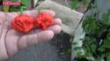 ma wartryx pepper (25).jpg