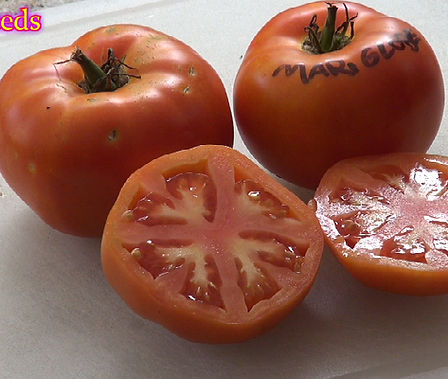 """Here is the Marglobe Tomato, Solanum lycopersicum. This tomato was developed in 1917 by Frederick J. Pritchard of the United States Department of Agriculture's Agricultural Experiment Station by crossing the Globe and Marvel tomatoes (""""Marglobe"""" is a fusion of the two names). These tomatoes can get to 1+ Lbs easy! It has amazing flavor and making it ideal for slicing. It also makes a great tomato sauce as well. Highly productive and produced fruit all the way up to the end of the tomato growing season!! Open pollinated. Indeterminate. 70 days."""