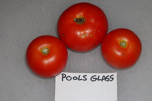 Here is the Pools Glas Tomato, Solanum lycopersicum. This tomato originates from Holland and was acquired from Bunny Hop Seed