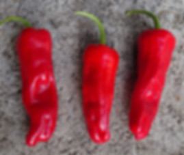 Here is the Greek Pepperoncini Pepper, Capsicum annuum, Scoville units: 100 ~ 600 SHU. This variety originates from Greece but often sold and grown throughout Italy. Do not confuse this with the golden Greek Pepperoncini or Italian varieties as they are different cultivars. They are mostly used for pickling but if left to fully ripen they will turn red and develop a nice rich sweet flavor and may sometimes be mildly hot with about 500 SHU at best. Plants can be highly productive getting to around 3 feet tall and producing dozens of pods per plant! Great for pickling and drying or eating fresh! Open pollinated, 70 days from transplant.