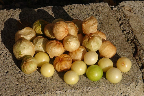 Amarylla Tomatillo is a polish version of the tomatillo from mexico. It is sometimes reffered to as a husk tomato even though