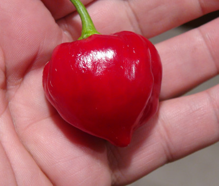 Here is the Red Savina Pepper, Capsicum chinense, Scoville units: 100,000 to 575,000+ SHU. This Pepper originates from Walnut, California USA and Frank Garcia of GNS Spices was credited as the creator of the Red Savina habanero. The red savina was the Guinness Book of World Records holder for World's Hottest Chili Pepper from 1994 to 2006. It is a medium sized Chinese lantern shaped habanero pepper that looks similar to a Chinese lantern but this one is rare and difficult to get seeds for. Pods get to around 1.5 to 2.5 inches long with fruits having a red colored skin when fully ripe. Plants can get to 3.5 feet tall and produce dozens of pods! Please note that the heat varies from pepper to pepper as some fruits are low heat but others may be very hot. We found these to be great for roasting and fresh eating too! Open pollinated mid season 65 to 80+ days.