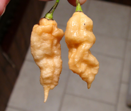 Here is the Jays Peach Ghost Scorpion Pepper, Capsicum chinense, Scoville units: 600,000 to 1,000,000 SHU. This Pepper originates from Eastern Pennsylvania, USA and was created by Jay Weaver. It is a cross hybrid between a Peach Bhut Jolokia, and a pink Trinidad Scorpion. The Jays Peach Ghost Scorpion variety is unique that it is a bhut jolokia that has a tail like a trinidad scorpion pepper. They are a good productive variety with fruits from 2 to 3.5 inches long with a pink flesh. Plants reach about 3 feet tall and do well in pots. Fruits are pink and heat range from high heat to very high heat. We found these to be great for pickling and fresh eating too! Open pollinated mid season 80 to 90+ days.