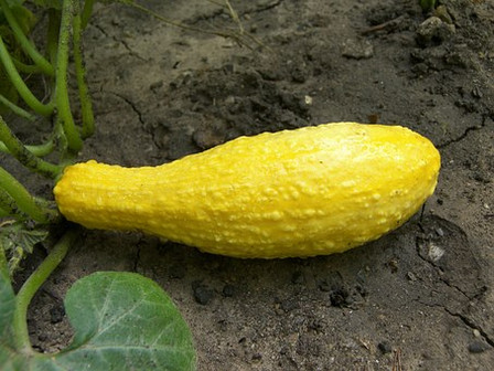Here is the Early Yellow Straightneck Squash, Cucurbita moschata.It is also known as the Yellow Summer Squash and is a traditional yellow variety that produces straight or hooked, smooth fruits about 6 to 8 incheslong. Plants or vines get to around 10 feet long and produce up to 8 fruits or more depending on how often you pick them off. We find it best to harvest when immature at 6 inches long. Skins harden and seeds enlarge as the squash matures. We find this great in soups and stews and the seeds are great roasted! Open pollinated 60 to 80 days.