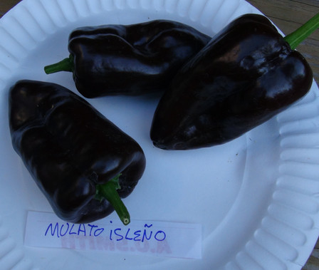 Here is the Mulato Isleno Pepper, Capsicum annuum, Scoville units:1000 ~ 2000 SHU.This pepper originates from Mexico and is amildly hot poblano type pepper.This heart shaped peppers matures from green to dark brown and range in size from 3 incheswide to6 incheslong. They are a very long season type and is mostly used dried. They have a somewhat chocolate like flavor when dried. Plants tend to be short and stocky and bushy. They can get to 3 feet in hight but can get a little bigger in full sun. Excellent for salsa, roasting and stuffing. Open pollinated, 90+ days.
