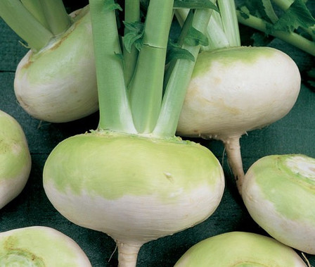 Here is the Early Flat White Turnip,Brassica rapa. This turnip is also know as the Navet Blanc Plat Hatif Turnip. Itwas mentioned in the M. B. Bateham catalog in 1840. They are a flat disk like turnip with green shoulders and a white bottom. It has a slight sweet flavor and can be eaten raw or cooked. They can grow to about 4 or 5 inches round and plants can get to 2 feet tall.Because turnip seeds are direct sown in the garden, preparing your soil early in the planning process is essential, because poor soil can negatively affect the flavor, quality and growth of the turnips. Great in soups and stews! Open pollinated 50 days.